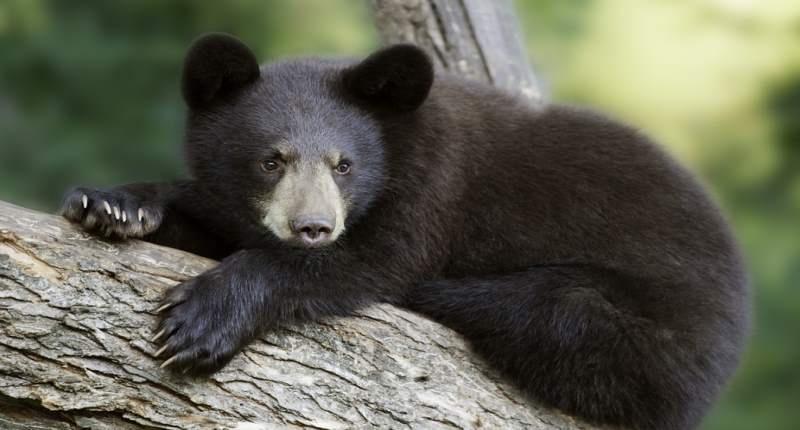 Young-black-bear-Shutterstock-800x430