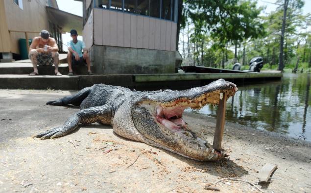 alligator-attack-man-killed
