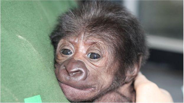 b2_gorilla